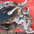 Denial Bay Squid, near Ceduna, South Australia