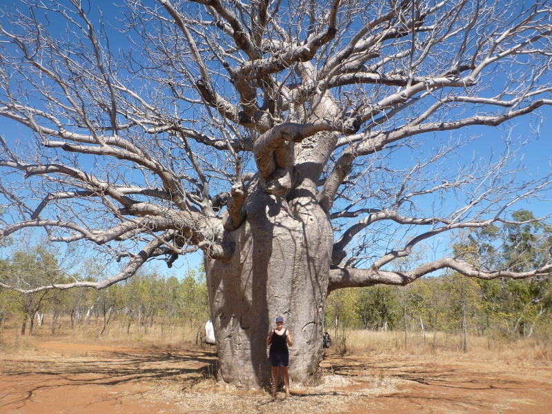 big boab tree, gregory national park
