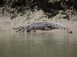crocodile basking at cahill crossing