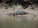 crocodile basking at cahill crossing
