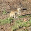 wallaby at shady camp, mary river national park