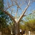 springvale homestead boab tree