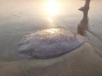 dundee beach jelly fish