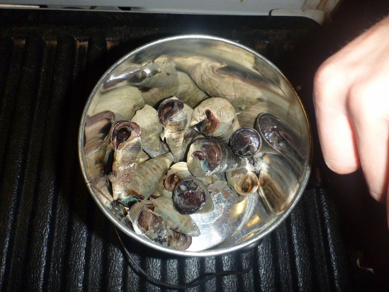 dundee beach telescopium mud whelks for dinner