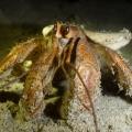 finnis river hermit crab