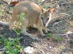 Nitmiluk caravan park wallaby