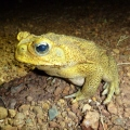 wangi falls cane toad