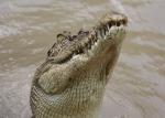 crocodile head above water