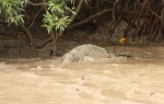 crocodile on muddy banks