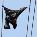 dead bat on power lines (2)