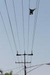 dead bat on power lines