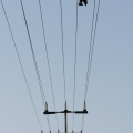 dead bat on power lines