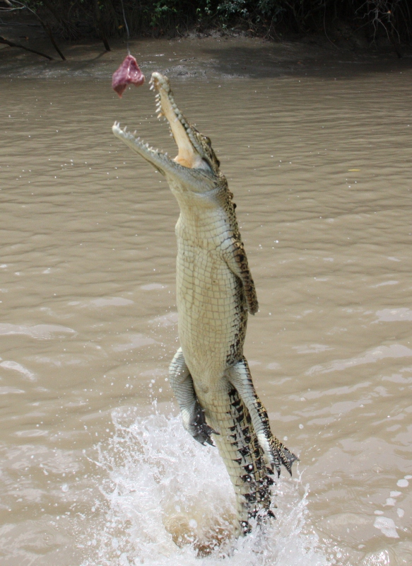 jumping crocodile action shot, adelaide river