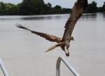 whistling kite grabbing meat