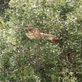 whistling kite swooping