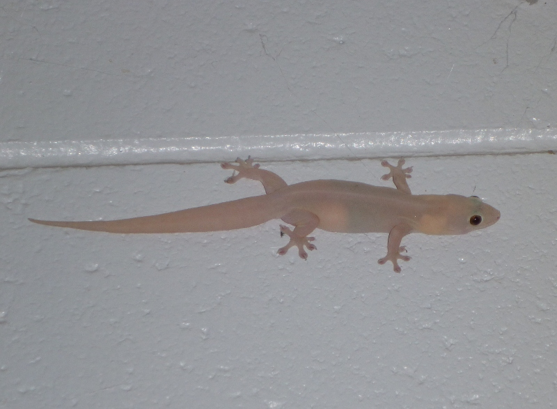 asian house gecko
