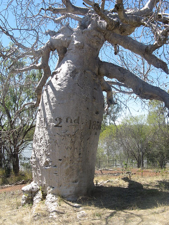 Greogry's Boab Tree Timber Creek image from wikipedia