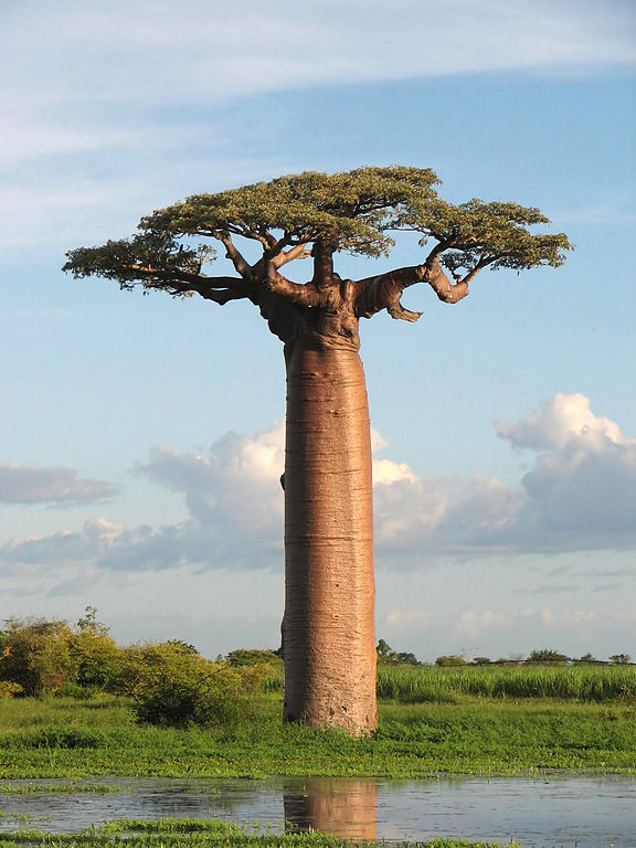 madagascar baobab image from wikipedia