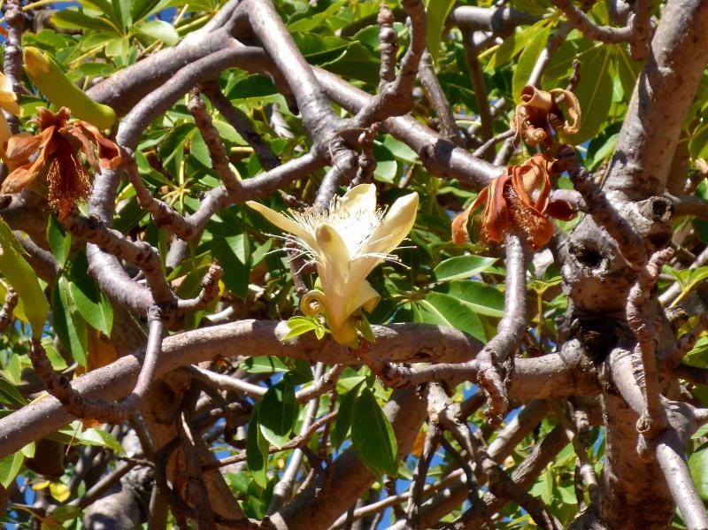 boab tree flower