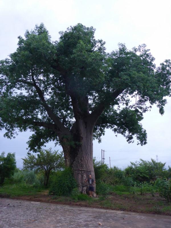 Boab Tree – outbackjoe