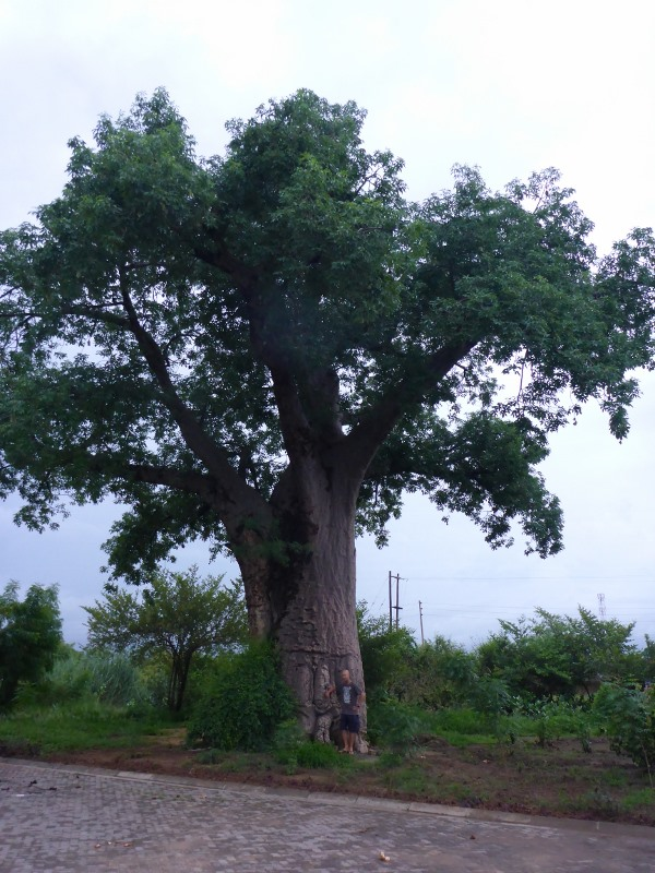 boab tree in mozambique