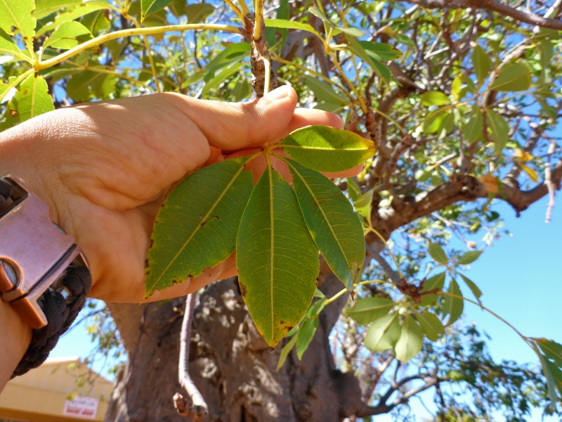 boab tree leaves