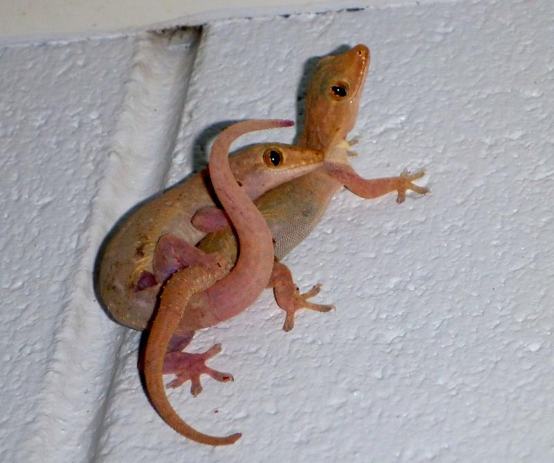 cuddling house geckos
