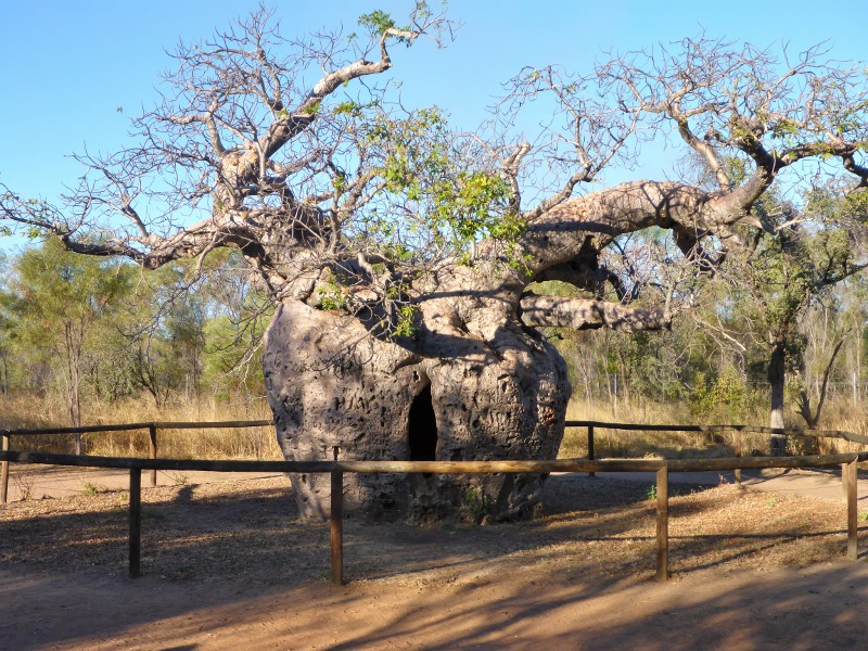 Derby prison boab tree