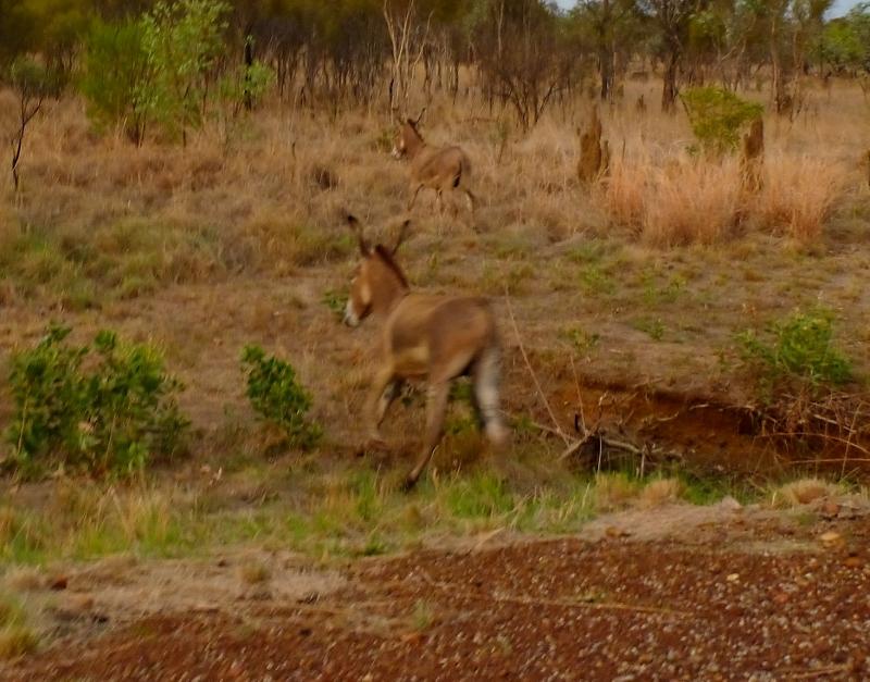 donkeys on roper hwy