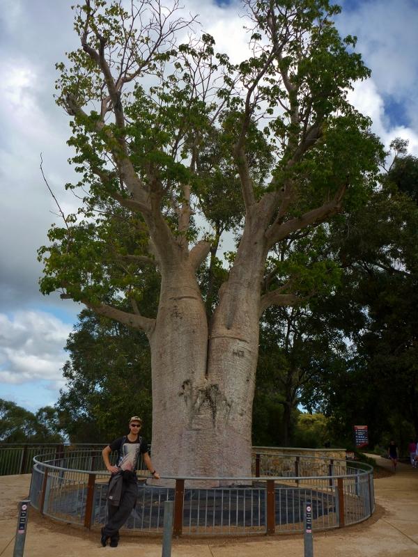 Gija Jumulu Boab Tree Kings Park