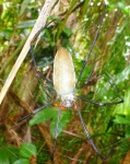 golden orb spider at litchfield
