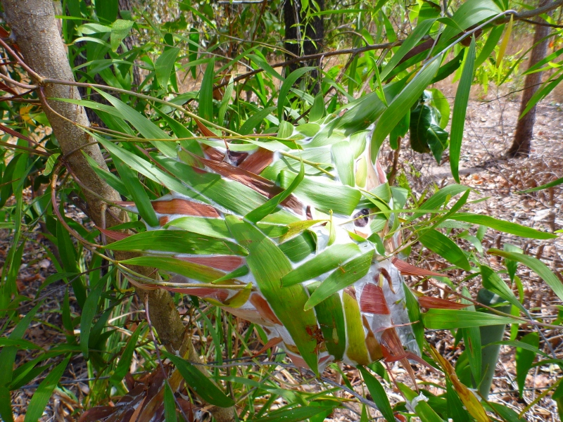 green ants nest