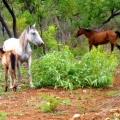 horses on roper hwy