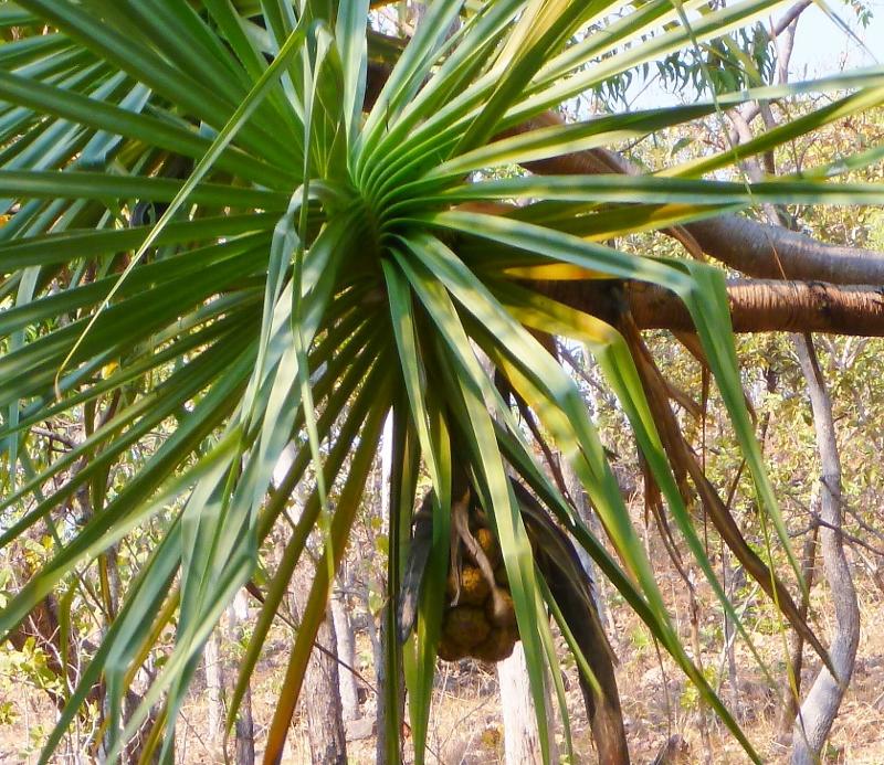 Pandanus Outbackjoe