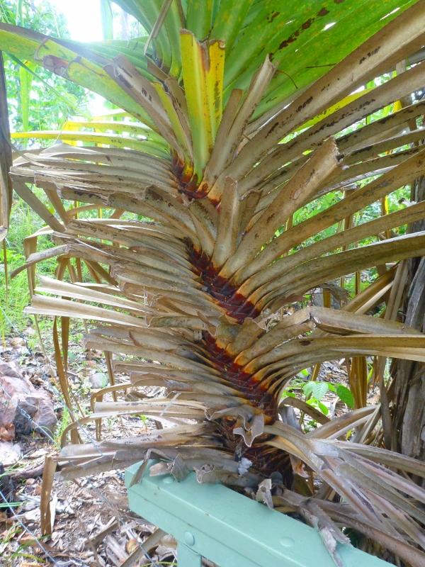 pandanus spiral (screw palm)
