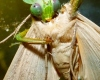 praying mantis eating moth close