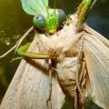 praying mantis eating moth close