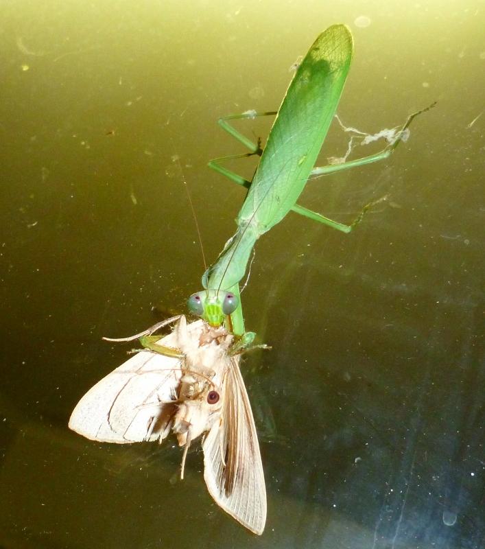 praying mantis eating moth