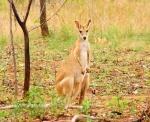roper hwy wallaby