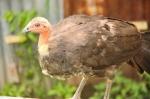 Australian Brush Turkey