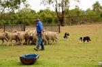 border collies herding sheep (2)