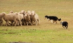 border collies herding sheep