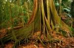 Fig Tree Walk big fig tree