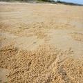 fraser island sand ball crabs
