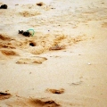 fraser island sand crab
