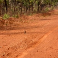frilled neck lizard on road