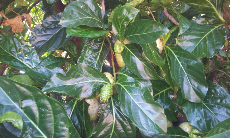 Great Morinda Leaves