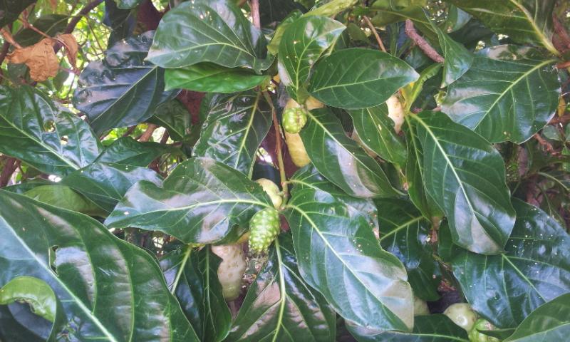 Great Morinda Leaves