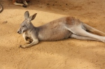 kangaroo (3)