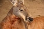 kangaroo (5)